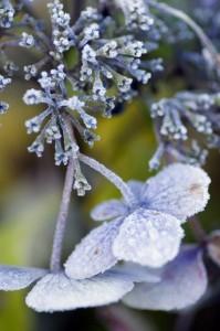 blue_hydrangea_in_frost