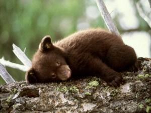 brown-bear-cub-on-the-tree