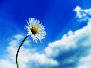 daisy & blue sky