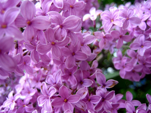 lilac-flowers-3