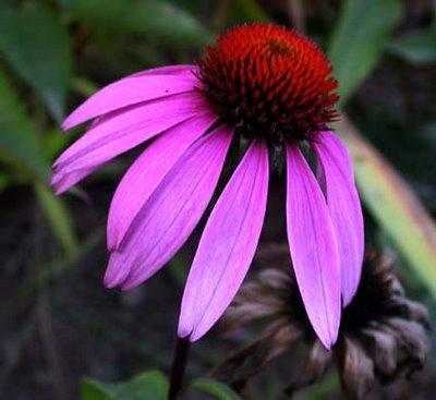 coneflower_flower