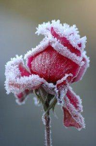 Winter-Roses300x451